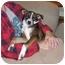 Photo 2 - Boston Terrier/Sheltie, Shetland Sheepdog Mix Dog for adoption in Fair Oaks Ranch, Texas - Sydney