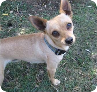 Chihuahua Dog for adoption in Los Angeles, California - Lipton