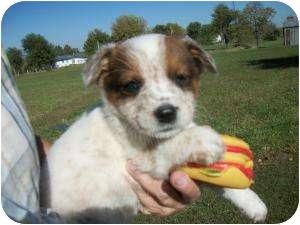 Australian Cattle Dog Puppy for adoption in Lonedell, Missouri - Rivera-2  (Red Heeler)