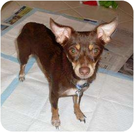 Chihuahua Mix Dog for adoption in West Palm Beach, Florida - SWAY