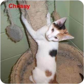 Domestic Shorthair Kitten for adoption in Slidell, Louisiana - Chrissy