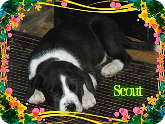 Border Collie Mix Puppy for adoption in Hancock, Michigan - Scout