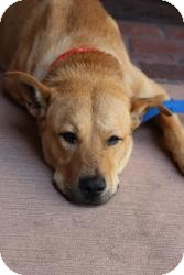 Shepherd (Unknown Type) Mix Dog for adoption in justin, Texas - Sunny