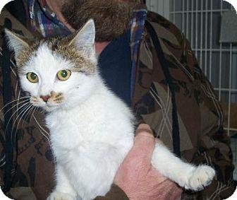 American Shorthair Cat for adoption in Mt. Vernon, Illinois - Onyx