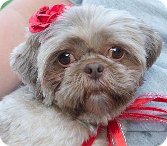 Shih Tzu Dog for adoption in Eden Prairie, Minnesota - Redd Ruffles