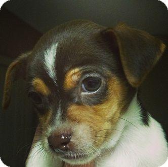 Beagle/Chihuahua Mix Puppy for adoption in Miami, Florida - Domino