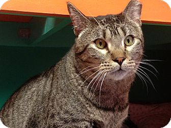 Domestic Shorthair Cat for adoption in Topeka, Kansas - Blake Shelton