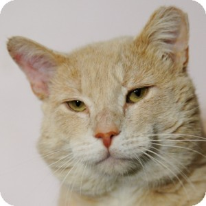 Domestic Shorthair Cat for adoption in Medford, Massachusetts - Leo
