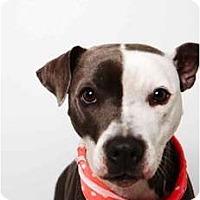 Adopt A Pet :: Sasha - New York, NY