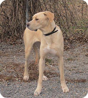 Great Dane/Labrador Retriever Mix Dog for adoption in Rigaud, Quebec - Cleo