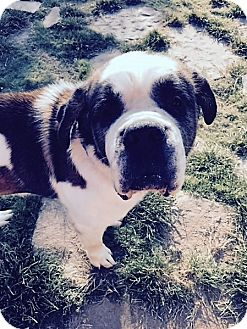 St. Bernard Dog for adoption in McKinney, Texas - Ben