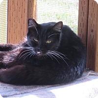 Domestic Shorthair Cat for adoption in Coos Bay, Oregon - Sanya