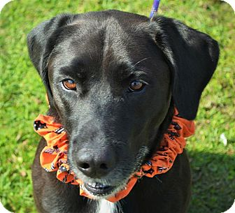 Labrador Retriever Mix Dog for adoption in Wilmington, North Carolina - Trix