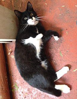 Domestic Shorthair Kitten for adoption in Houston, Texas - ACE
