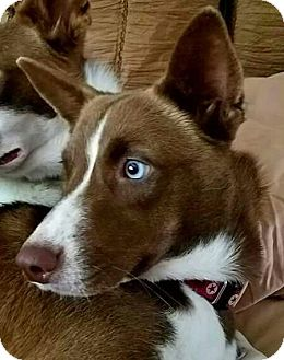 Siberian Husky/Australian Kelpie Mix Puppy for adoption in Allison Park, Pennsylvania - Mocha