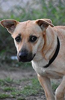 Beagle Mix Dog for adoption in Jarrell, Texas - Cadence