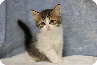 Domestic Longhair Kitten for adoption in Midland, Michigan - Susanne