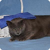 Adopt A Pet :: Boo Boo (Spayed & Declawed) - Marietta, OH