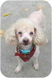 Poodle (Miniature) Dog for adoption in Warren, New Jersey - Beans