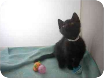 Domestic Shorthair Kitten for adoption in North Charleston, South Carolina - Patrick