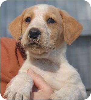 Hound (Unknown Type)/Labrador Retriever Mix Puppy for adoption in Spring Valley, New York - Dora