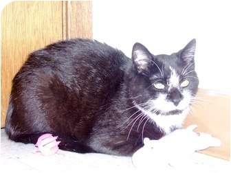 Domestic Shorthair Cat for adoption in Columbus, Nebraska - Mr. Hyde