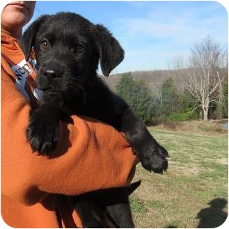 Flat-Coated Retriever/Labrador Retriever Mix Puppy for adoption in Westbrook, Connecticut - Dabs