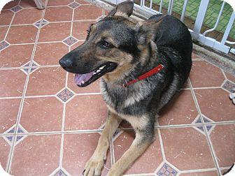 German Shepherd Dog Dog for adoption in Portland, Maine - Angel