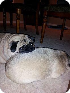 Pug Dog for adoption in Avondale, Pennsylvania - Peanut Butter