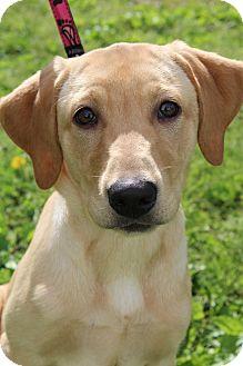 Labrador Retriever Puppy for adoption in Wytheville, Virginia - Sadie