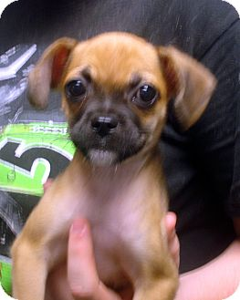 Pug/Chihuahua Mix Puppy for adoption in Manassas, Virginia - Camacho
