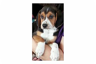 Hound (Unknown Type) Mix Puppy for adoption in Pompton Lakes, New Jersey - Butterscotch