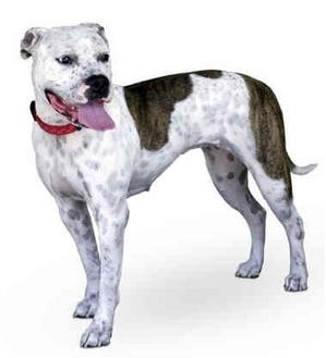 Boxer/American Bulldog Mix Dog for adoption in Marina del Rey, California - Bettie