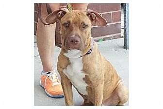 Pit Bull Terrier Mix Puppy for adoption in Pompton Lakes, New Jersey - Dice