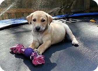 Beagle/Schnauzer (Standard) Mix Puppy for adoption in Brattleboro, Vermont - Twix