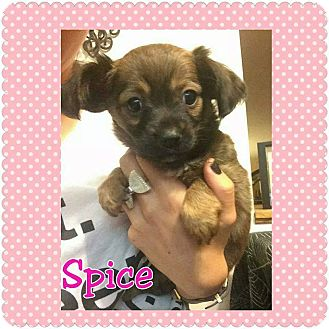 Chihuahua/Cocker Spaniel Mix Puppy for adoption in Rancho Cucamonga, California - Spice