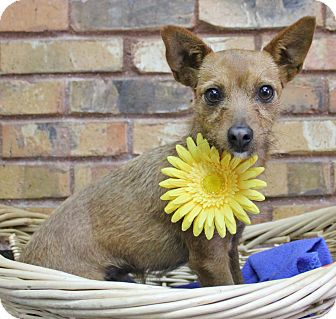 Chihuahua/Terrier (Unknown Type, Small) Mix Dog for adoption in Benbrook, Texas - Rosie