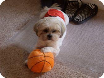 Shih Tzu Dog for adoption in Dothan, Alabama - Bandit