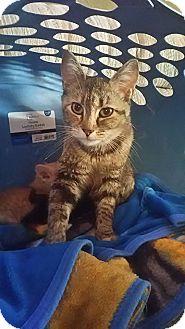 Domestic Shorthair Cat for adoption in Middletown, Ohio - Ginger