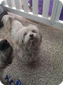 Maltese/Poodle (Miniature) Mix Dog for adoption in Thousand Oaks, California - Penelope