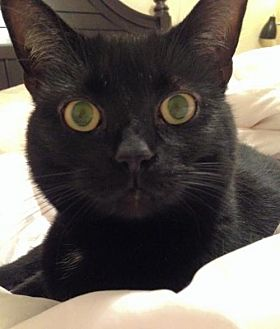 Domestic Shorthair Cat for adoption in Asheville, North Carolina - Wednesday (Courtesy)