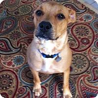 Adopt A Pet :: Bella Blue - Marietta, GA