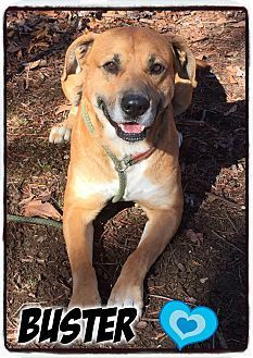 Mastiff/Boxer Mix Dog for adoption in Washington, D.C. - Buster (reduced fee)