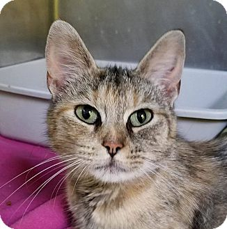 Domestic Shorthair Cat for adoption in Adrian, Michigan - Nina