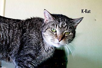 American Shorthair Cat for adoption in Arkadelphia, Arkansas - K-Kat