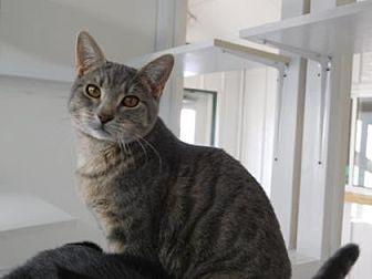 Domestic Shorthair/Domestic Shorthair Mix Cat for adoption in Freeport, Illinois - Razzle