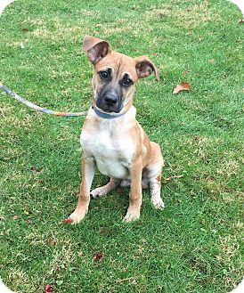 Boxer Mix Puppy for adoption in New Oxford, Pennsylvania - Erie