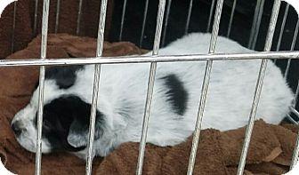 Border Collie/Australian Cattle Dog Mix Puppy for adoption in Las Vegas, Nevada - Tyler