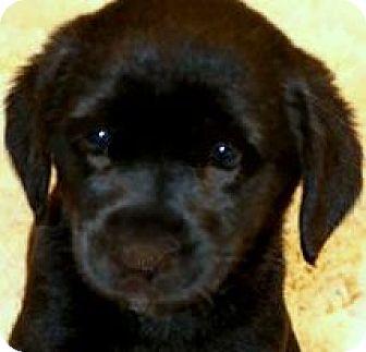 """Labrador Retriever Mix Puppy for adoption in Wakefield, Rhode Island - LIZZY(OUR LITTLE """"CUDDLER""""!!"""
