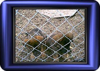 Australian Cattle Dog/Labrador Retriever Mix Puppy for adoption in Cushing, Oklahoma - x SAMMY adopted